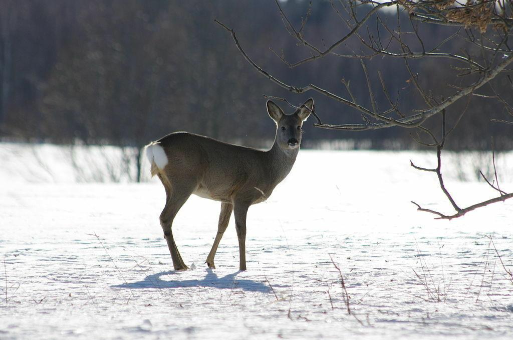 Pasirodo, miško gyvūnai į kelius užklysta ne atsitiktinai - jie keliuose ir šalikelėse šio to ieško