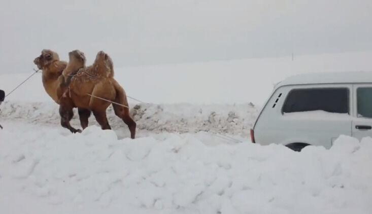 """Kupranugaris, sniegas ir """"Niva"""" - neįprasta įklimpusio automobilio gelbėjimo operacija, įmanoma tik Rusijoje"""